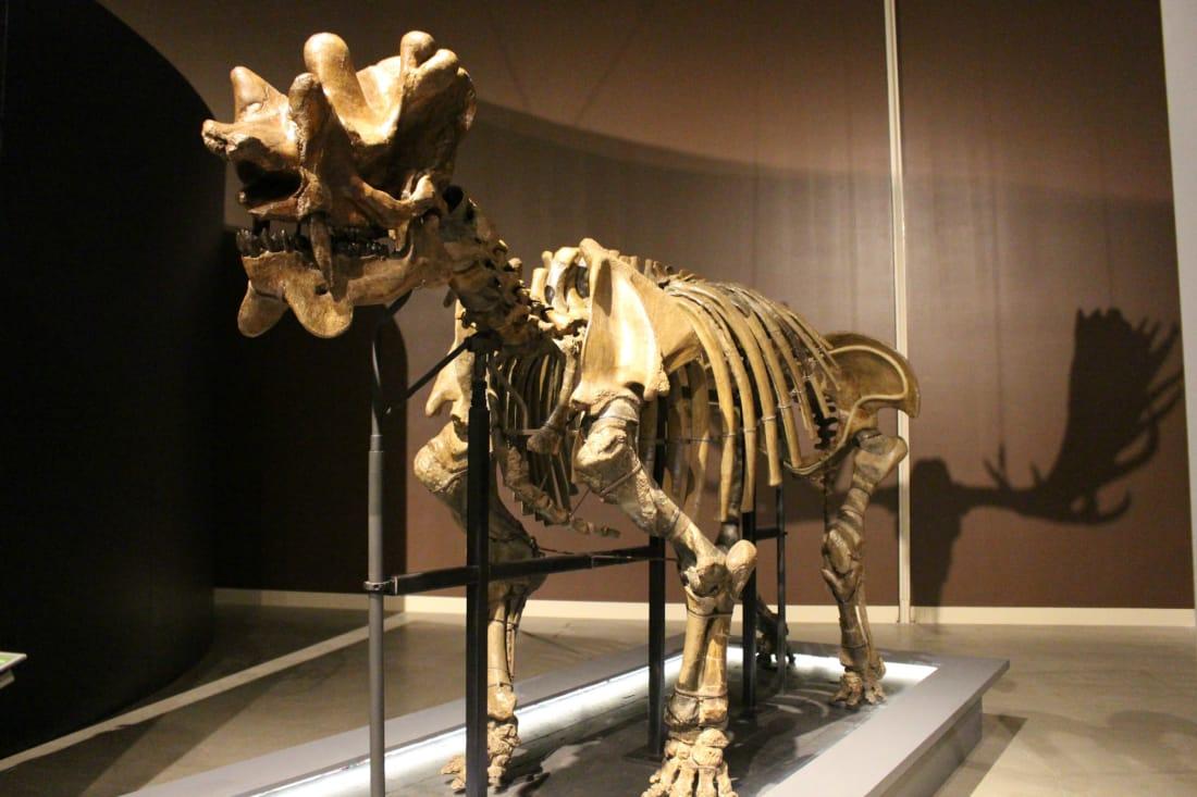 Uintatherium in the traveling Extreme Mammal exhibit. Credit: Brian Switek