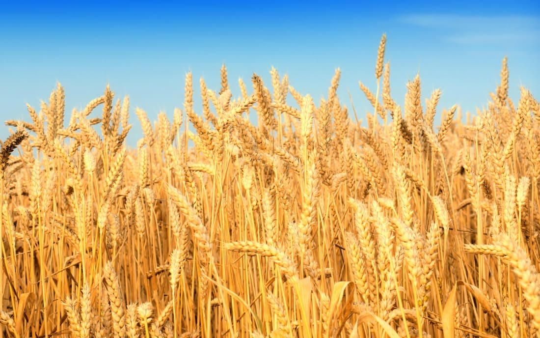 Photograph taken from: http://agrodaily.com/2015/05/22/rabo-cuts-wheat-price-hopes-even-as-futures-rise/