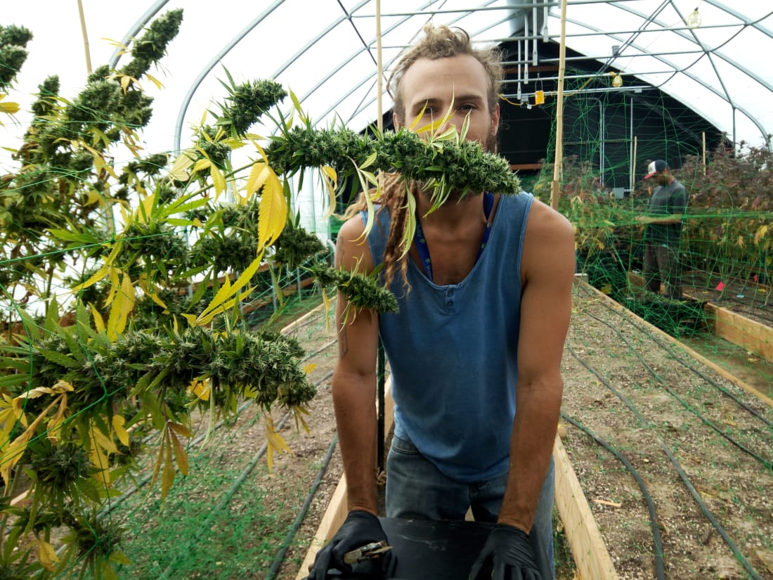 Sun grown cannabis can be harvested out of season using Light Deprivation.