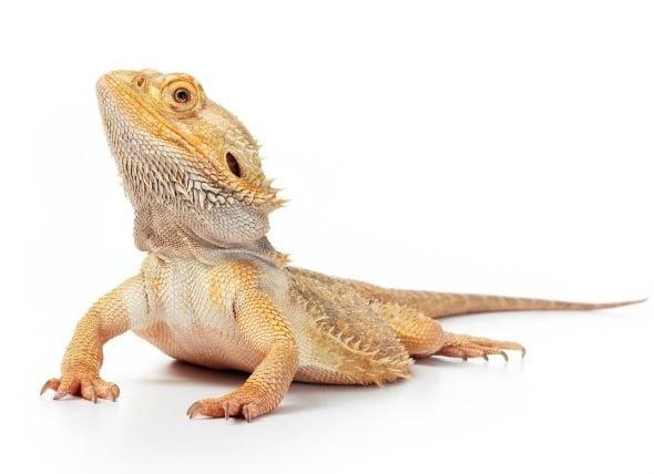 Bearded Dragon Care | Petlife