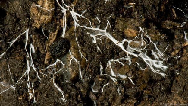The mycelium of a fungus spreading through soil (Photo by Nigel Cattlin / Alamy)