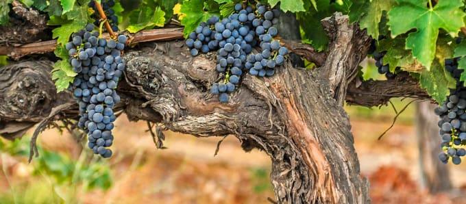 Sandhi Wines