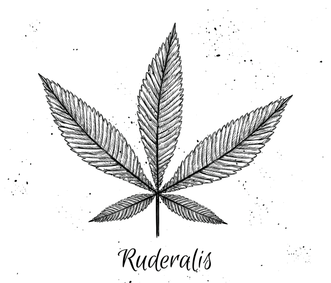 What Is Ruderalis, Anyway?