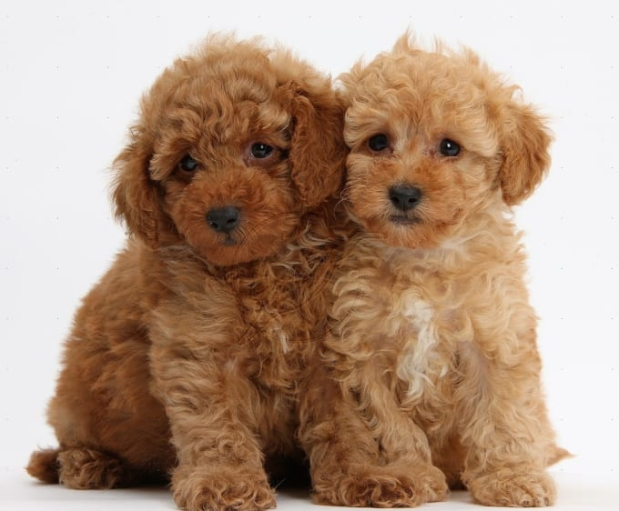 Smallest Toy Dog Breeds : Small hypoallergenic dogs petlife