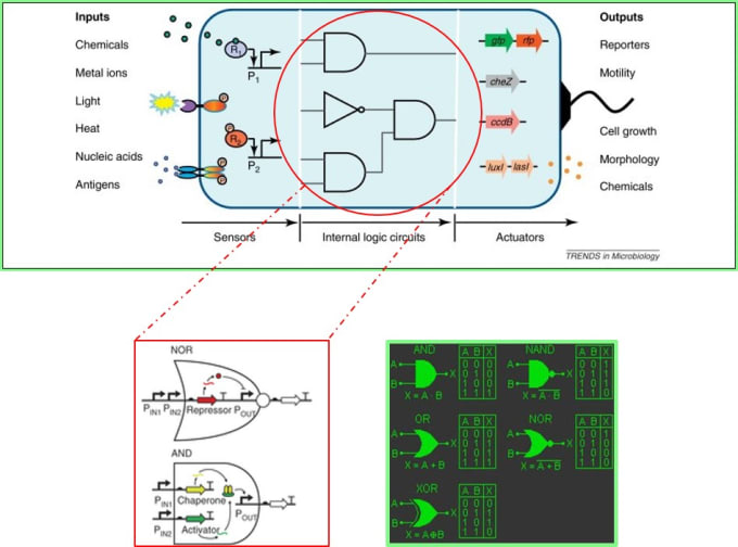 Principles of gene circuit design: An example of logic gates designed in synthetic biology to activate genes (inset, left) inspired by Boolean logic gates in electronic circuits (inset, right) compared side-by-side (via Nature Methods 2014 and efxkits.co.uk).