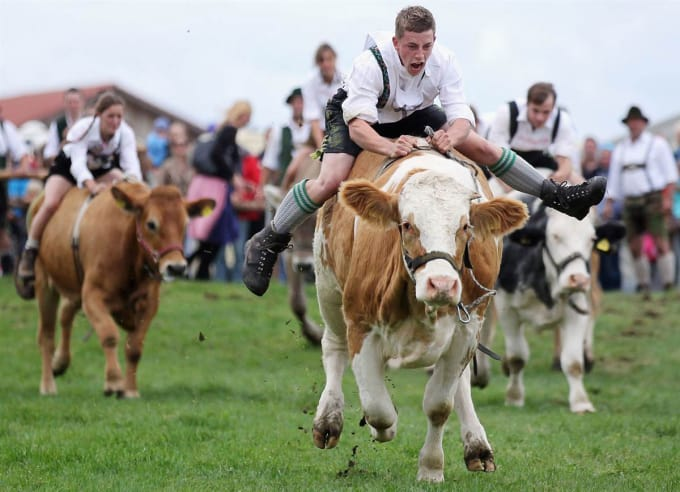 Scotland - Illegal to Ride a Cow While Drunk