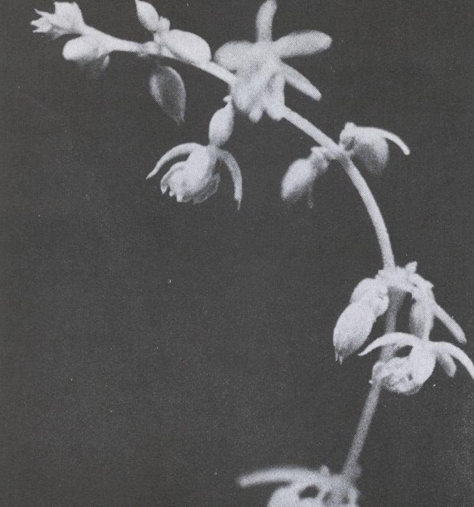 Male Flower Tops