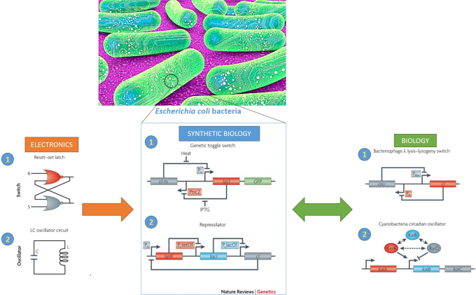 At the level of the genome of the E.coli bacteria: a synthetic 1) toggle switch and 2) oscillator were engineered via synthetic biology; they were inspired by electronic circuit design and also have naturally occurring counterparts elsewhere in nature (via The Scientist 2016 and Nature Reviews Genetics 2010)