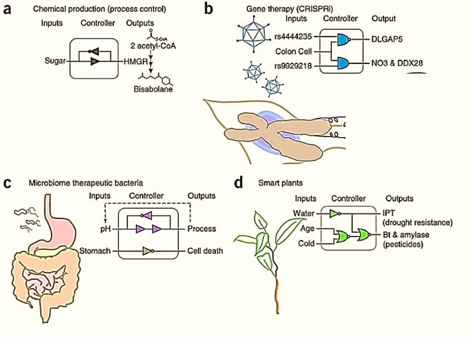 Hypothetical uses of synthetic gene circuits: a) chemical production (a non-toxic alternative to diesel) b) gene therapy (early detection to edit genetic anomalies in disease) c) engineering therapeutic gut bacteria c) smart plants that sense environmental cues and implement responses (via Nature Methods 2014).