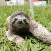 Sarcastic Sloth