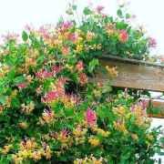 Reaux Tinkleflower