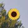 Sunny Clara Evergreen