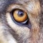 Relentless Wolf