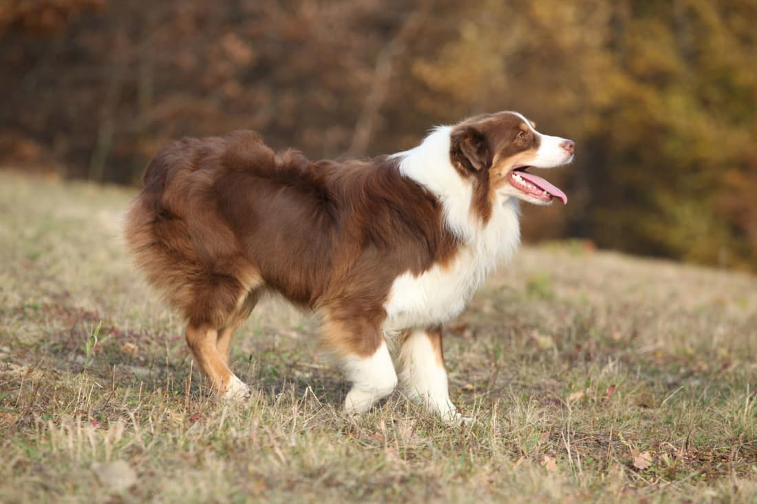 10 of the Easiest Dog Breeds to Train | Petlife | Easiest Dog Breeds To Train