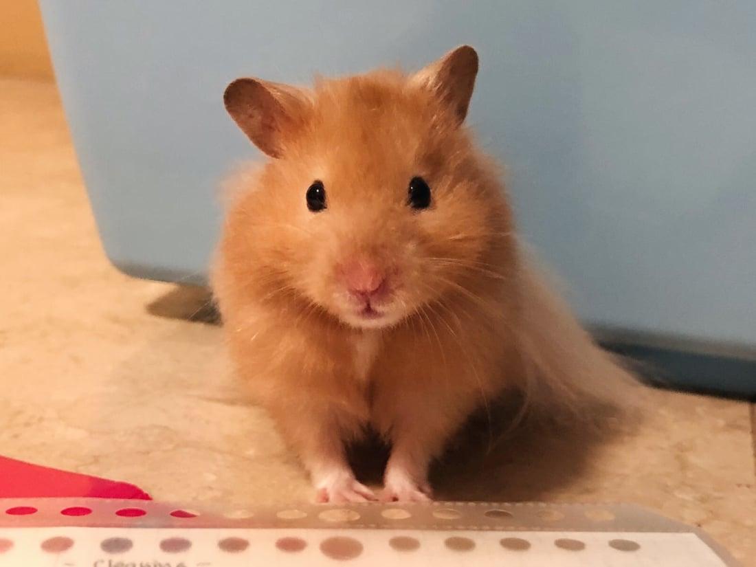 syrian hamster basics petlife. Black Bedroom Furniture Sets. Home Design Ideas