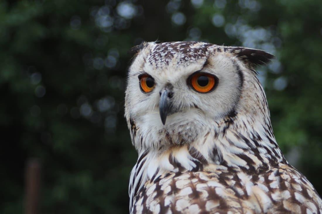 why owls don 39 t make good pets petlife. Black Bedroom Furniture Sets. Home Design Ideas
