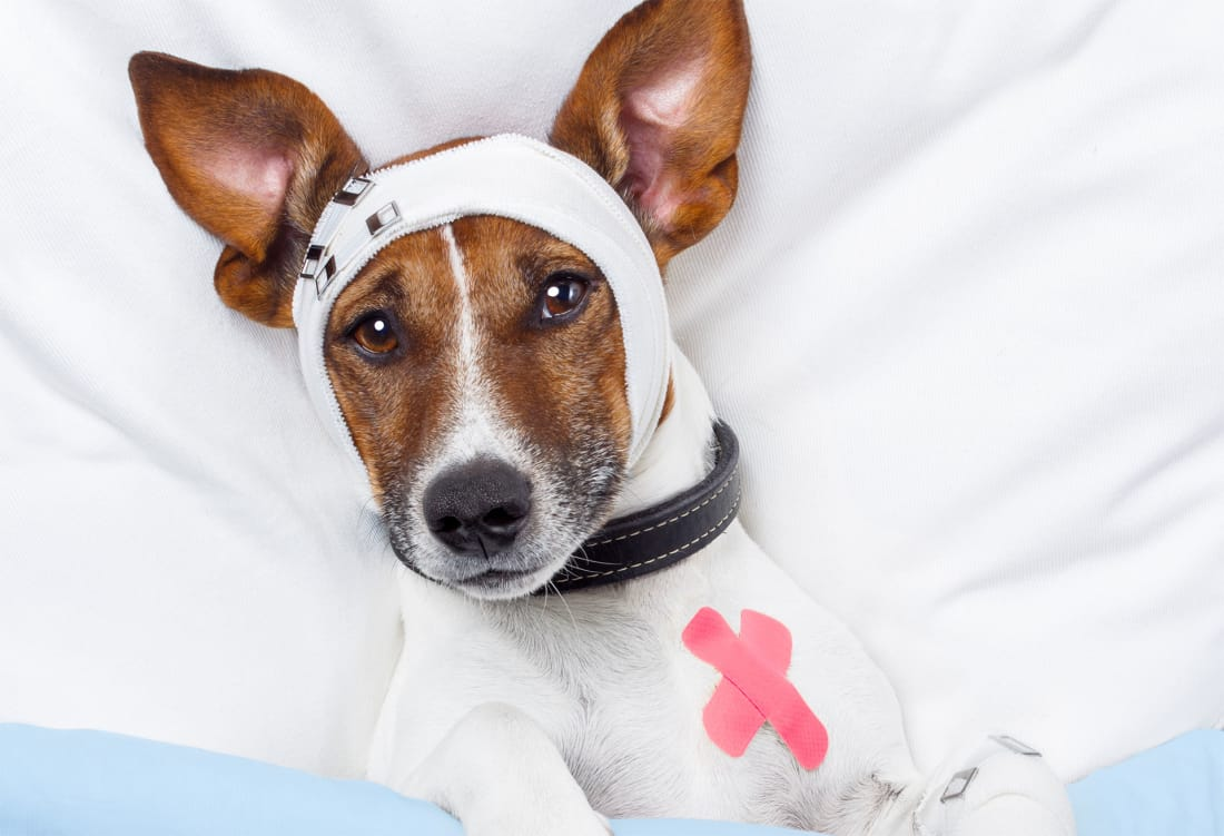 Can Dogs Get Concussions? | Petlife