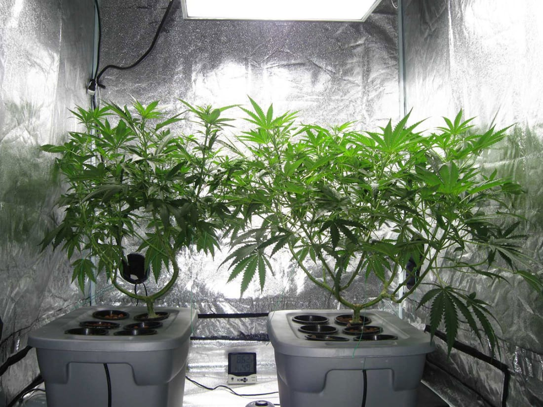 Growing Marijuana Indoors With Natural Light Potent