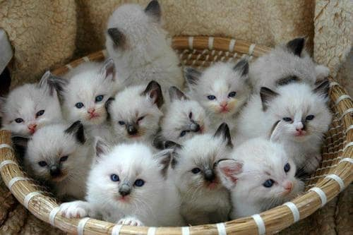 Best Cat Breeds For First Time Owners Petlife