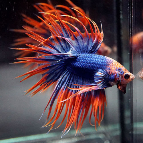 The right way to care for betta fish petlife for What fish can live with bettas