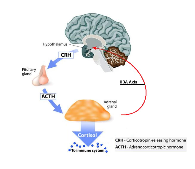 Image result for Stress hormone process