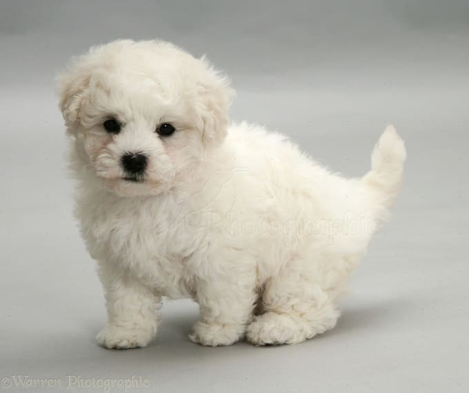 Bichon Frise Dogs Available For Adoption