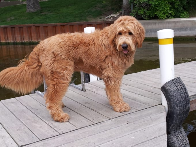 Why You Should Consider Buying a Goldendoodle | Petlife