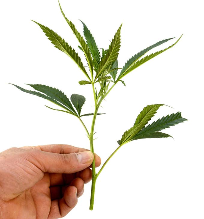 how to clone a weed plant potent. Black Bedroom Furniture Sets. Home Design Ideas