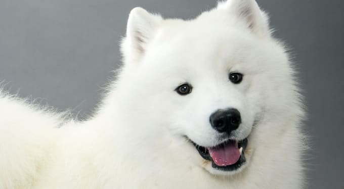 Large Looking American Eskimo Dog