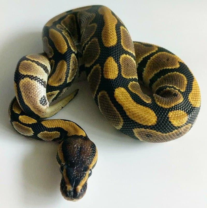 Ball Python Care | Petlife