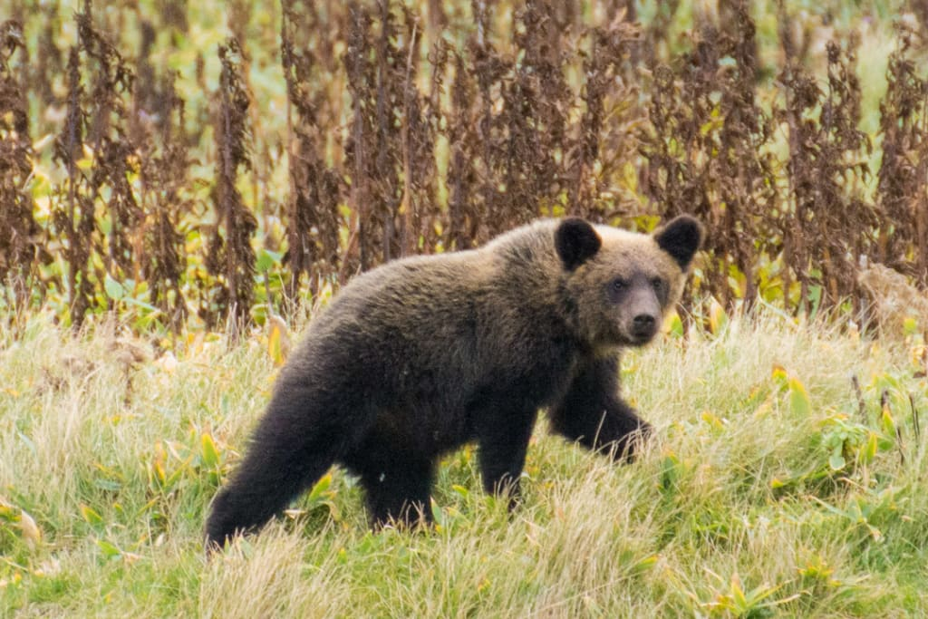 Bear Conservation and Eco-Tourism in Japan #2: Visit to Shiretoko