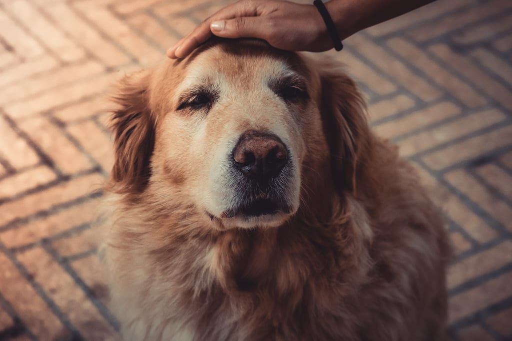 Canines and Humans: How to Understand When Your Dog Is Hurt