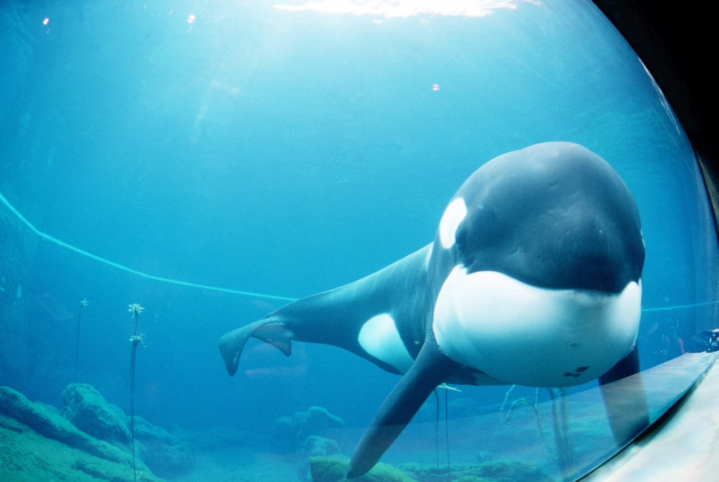Marine Artist Releases Notes on Keiko's Failed Release
