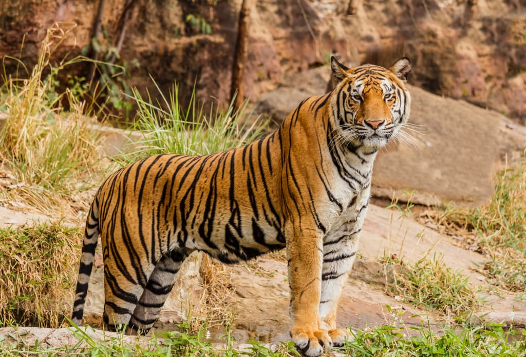 """Life-Long Tiger Trainer Speaks Out in the Light of the """"Tiger King"""""""