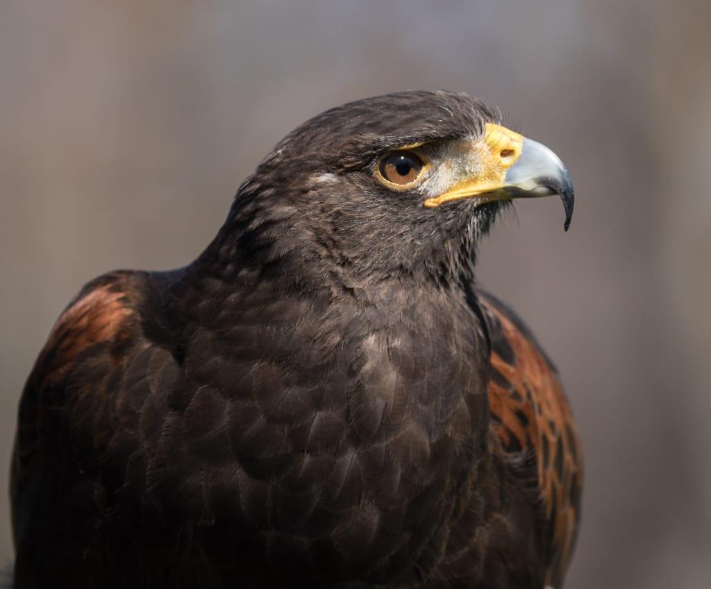 A hawk in my heart