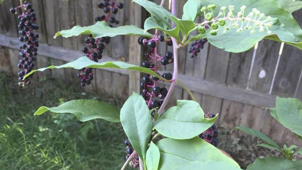Explain To Me, Pokeweed...