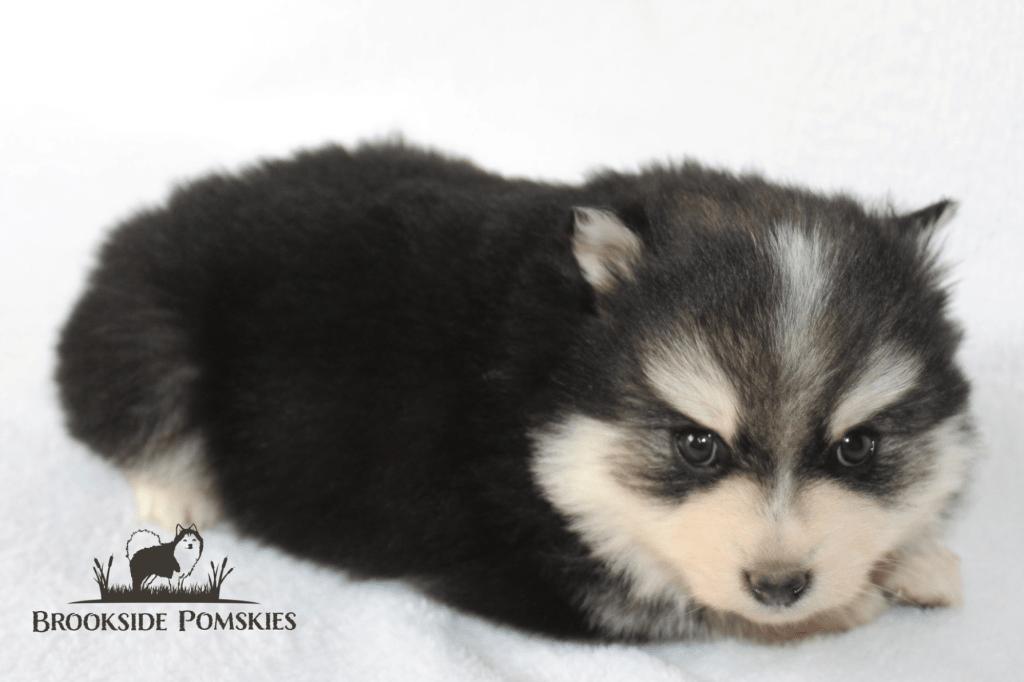 The Gorgeous Pomsky Dog Breed