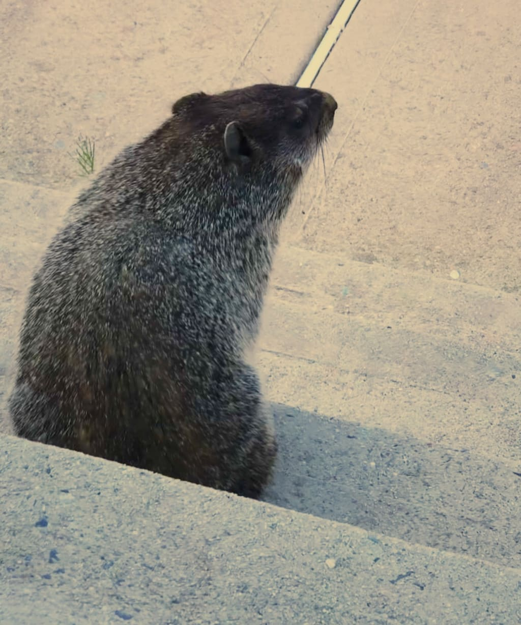 My Groundhog, Ciabatta
