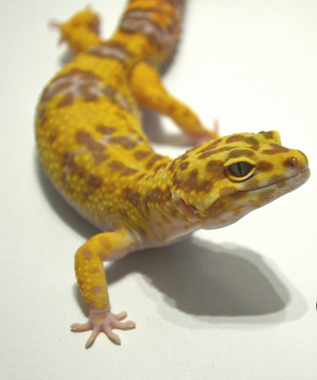 Tips For Leopard Gecko Care
