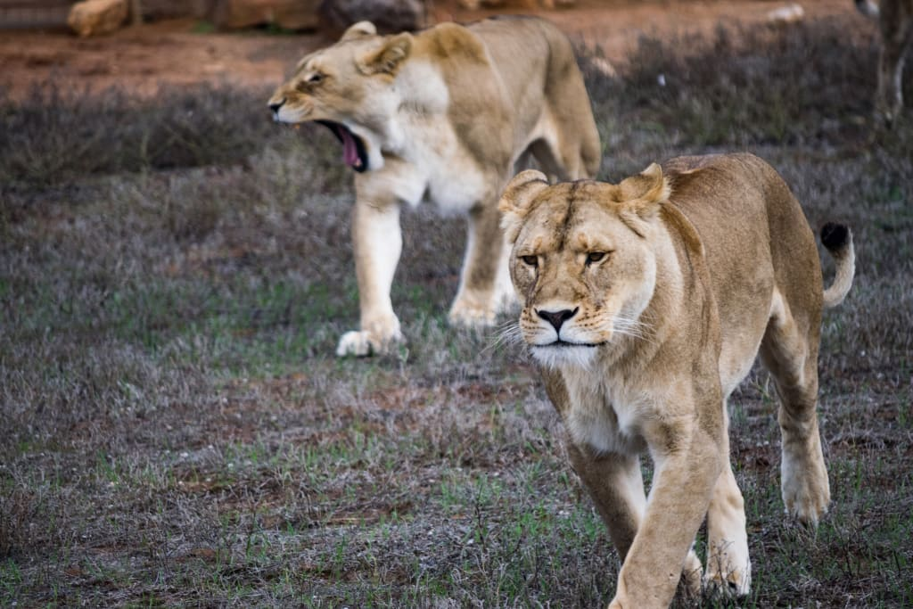 Getting a great Lion Shot