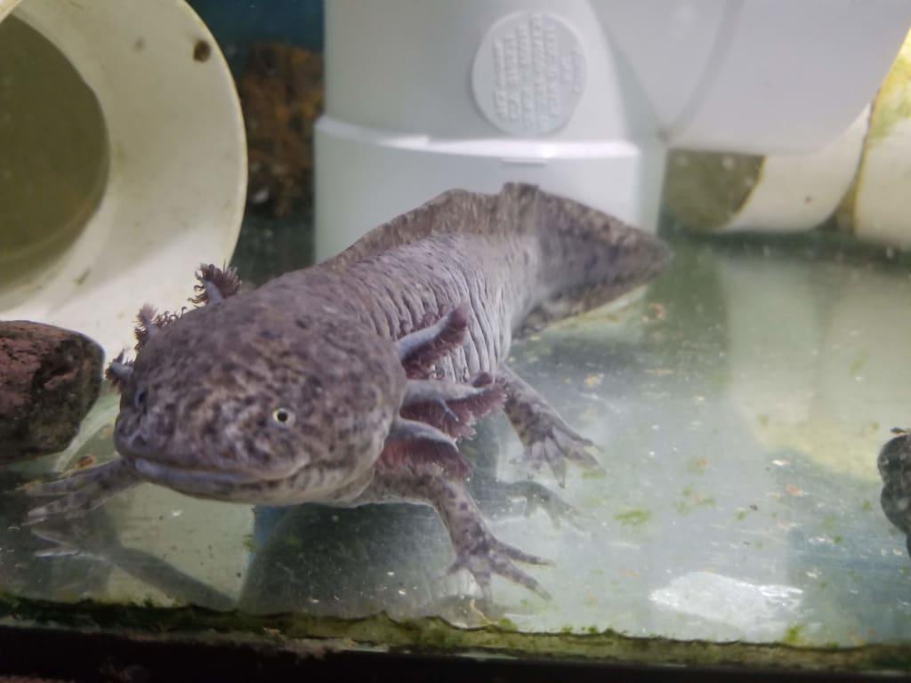 Bringing a new Axolotl Home