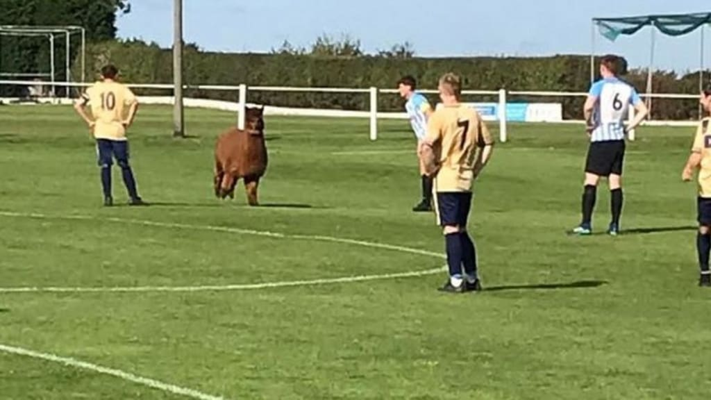 Alpaca on the Pitch!