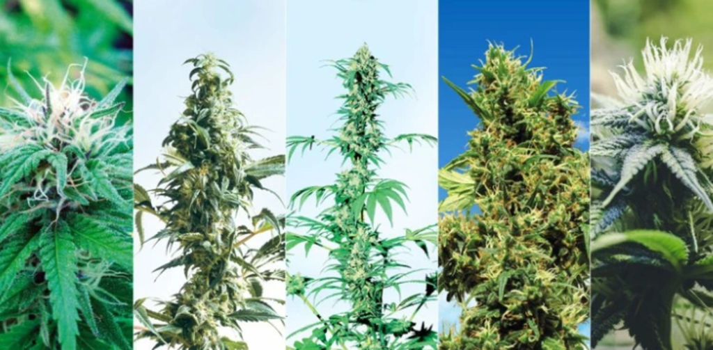 Different Types Of Cannabis Plants