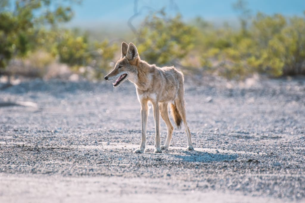 Always Scream at Coyotes, Humane Society Says