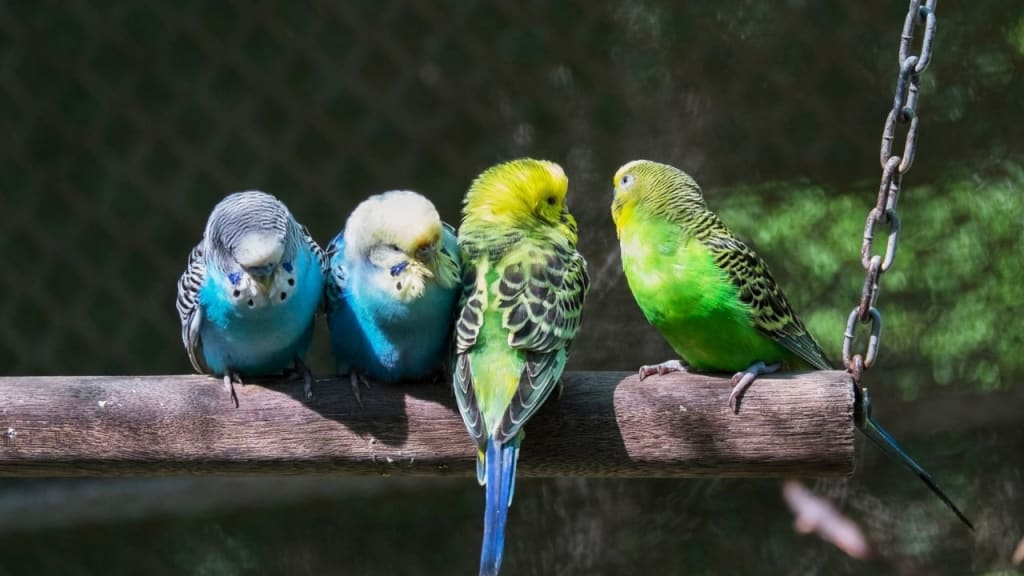 How long do parakeets live?          All about parakeets lifespan