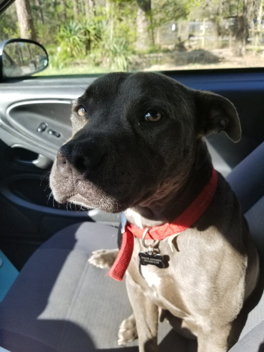 The Love of a Rescue Pitt Bull