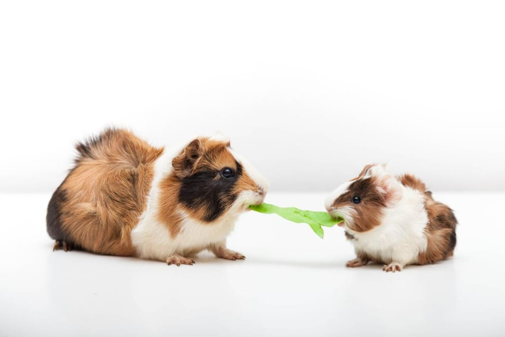 What's on Your Guinea Pig's Menu?