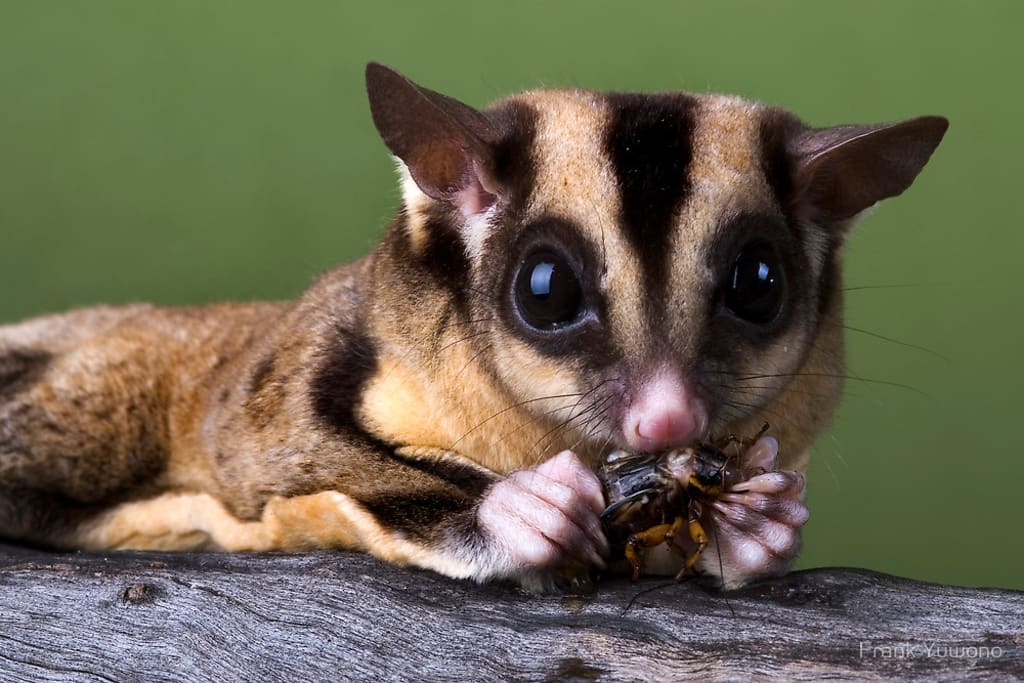 What You Need To Know Before Owning Sugar Gliders