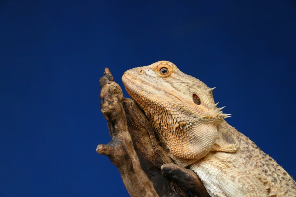 Let's Talk About Bearded Dragons