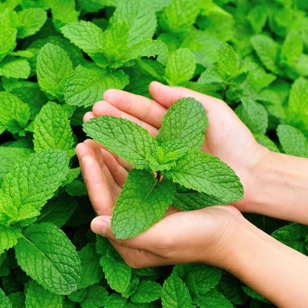 Have Some 'Pep' in Your Step With Peppermint